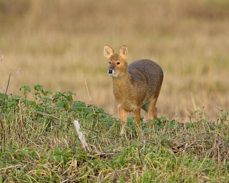 Chinese Water Deer - doe