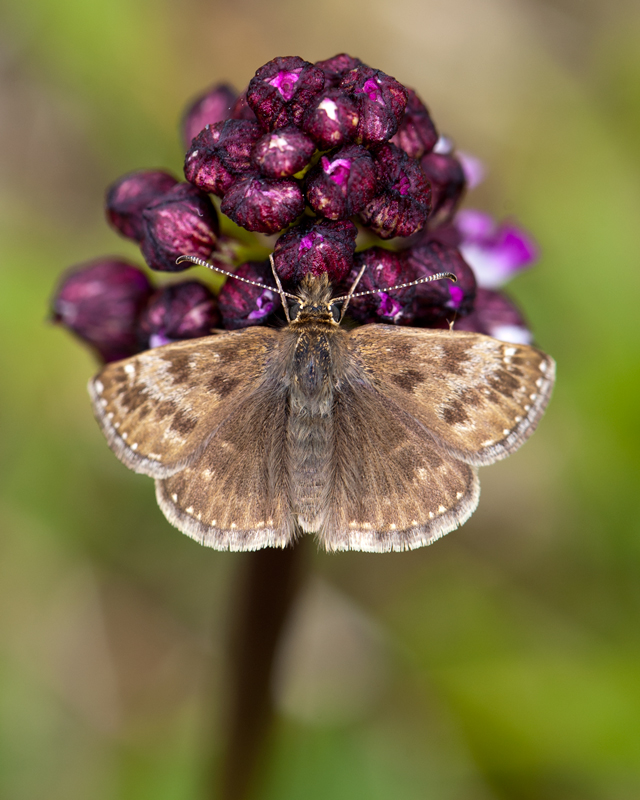 Dingy Skipper on Lady Orchid