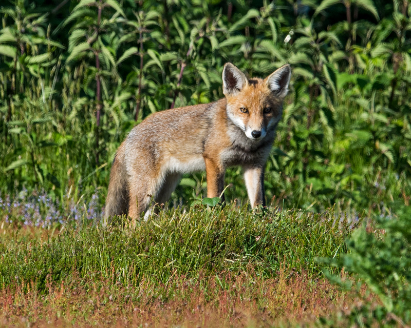 Red Fox dog