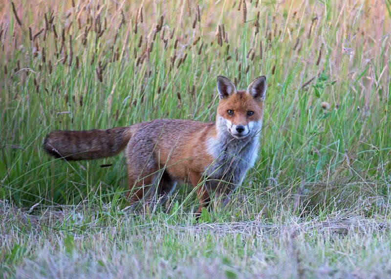 Red Fox dog