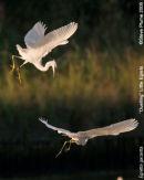 dueling Little Egrets