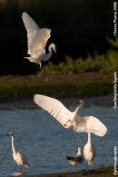 dueling Little Egrets 1