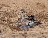 Skylark dust bathing