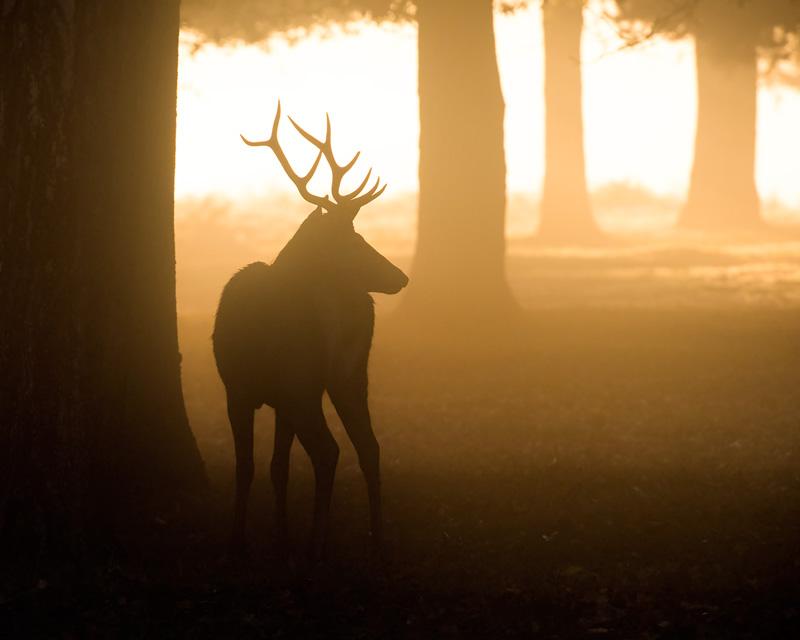 Sunrise Red Deer Stag