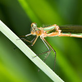 Common Emerald Damselfly