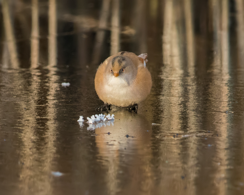 Bearded Tit female on ice