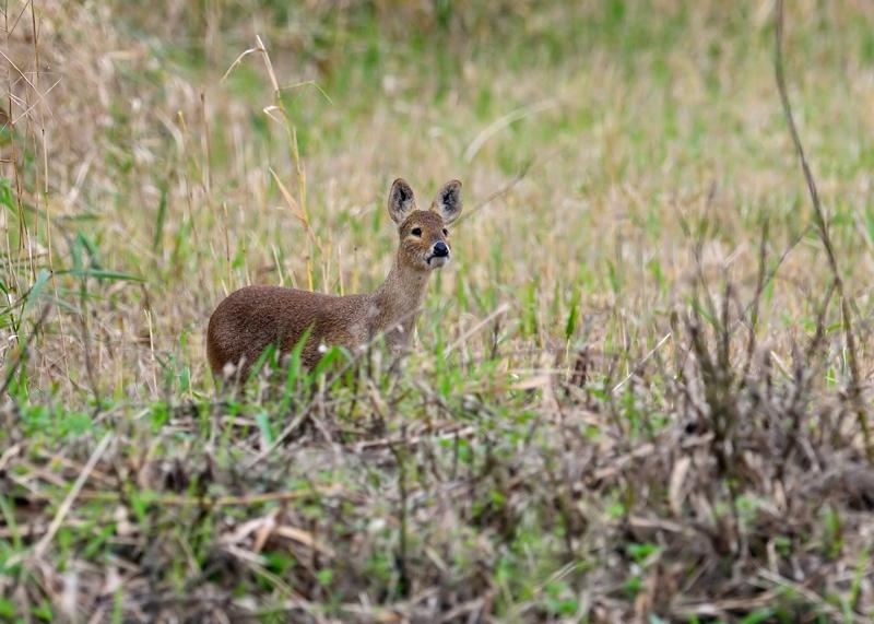Chinese Water Deer
