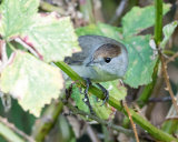 Blackcap female