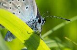 Large Blue female