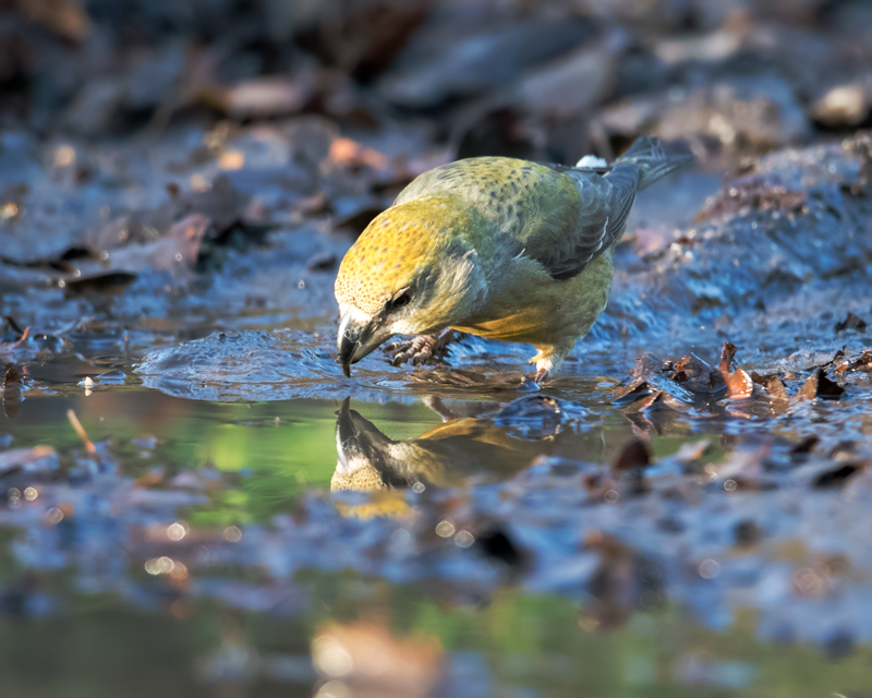 Female Parrot Crossbill