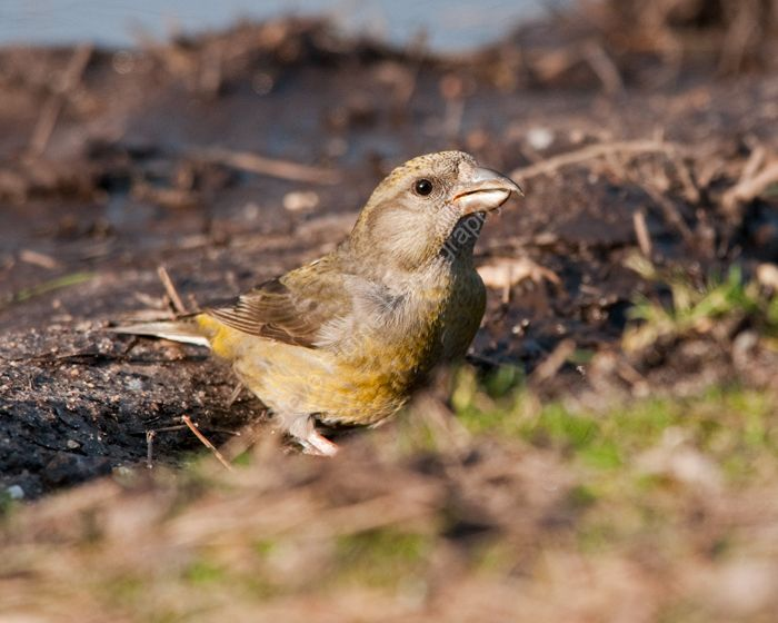 Common Crossbill female