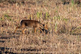 Female Chinese Water Deer