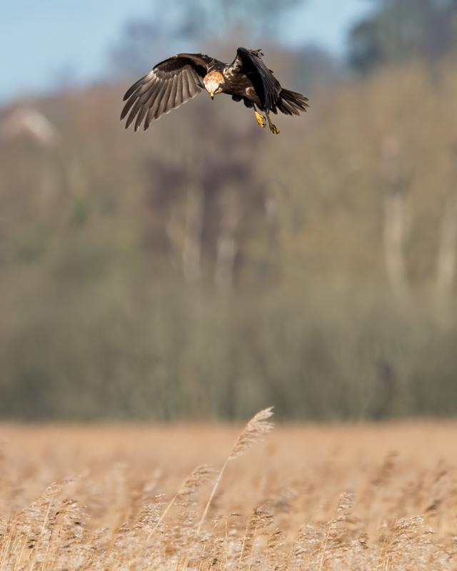 Marsh Harrier female - hunting