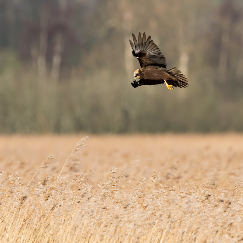 Marsh Harrier female - hunting