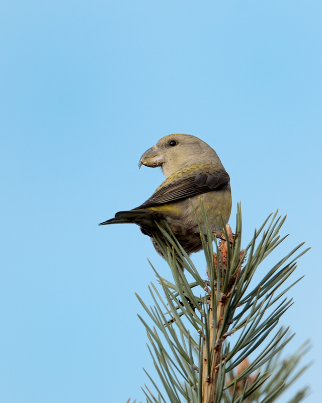 Parrot Crossbill female
