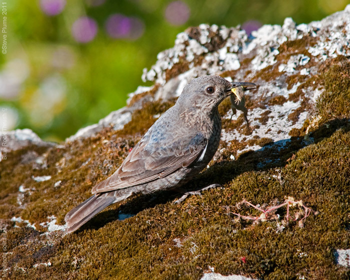 female Blue Rock Thrush and Lizard