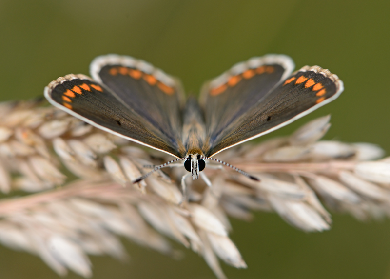 Brown Argus female