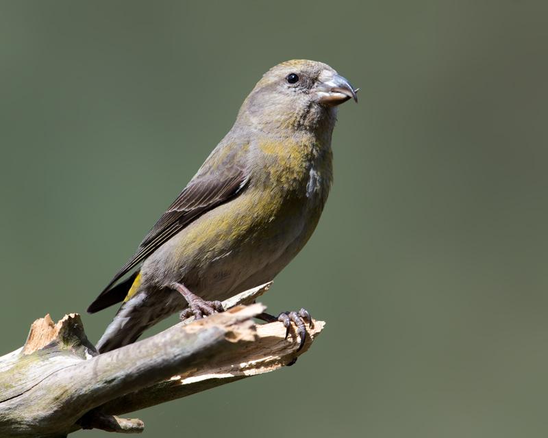 Crossbill female