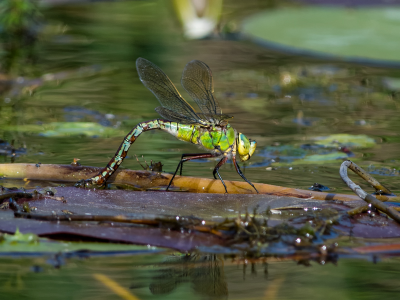 female Emperor Dragonfly ovipositing