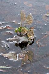 Emperor Dragonfly - ovipositing