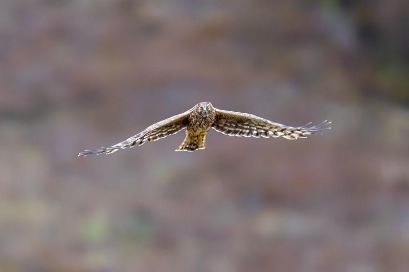 Female Hen Harrier