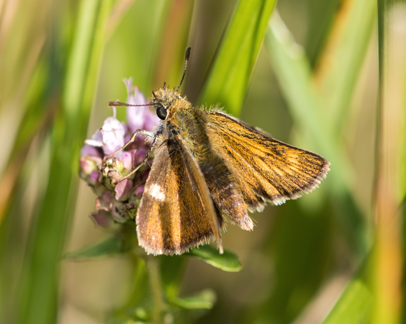 Lulworth Skipper - female