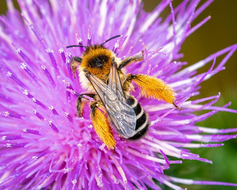 Pantallon Bee