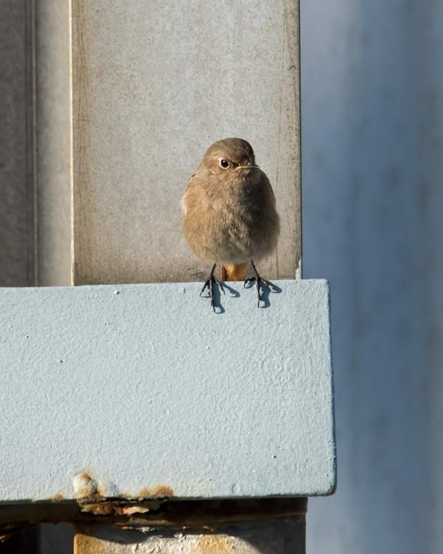 Black Redstart female