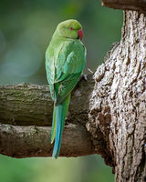 female Ring-necked Parakeet