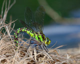 Southern Hawker - ovipositing