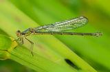 female Willow Emerald