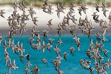 Flock of Sanderling