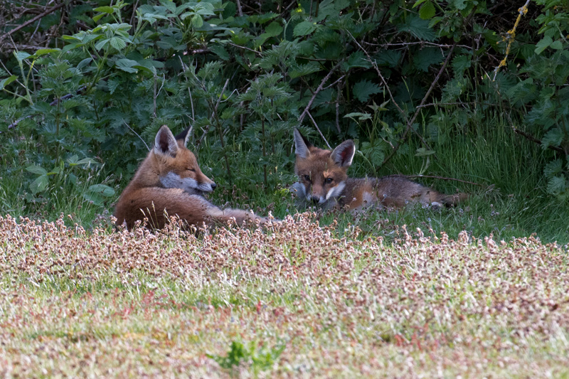 Fox cubs snoozing
