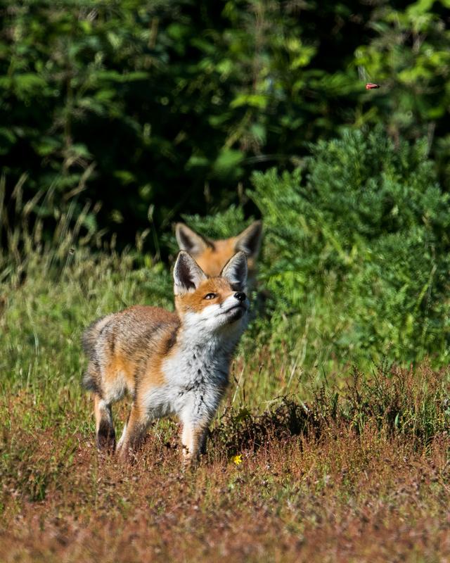 Fox cub chasing Cinnabar Moth