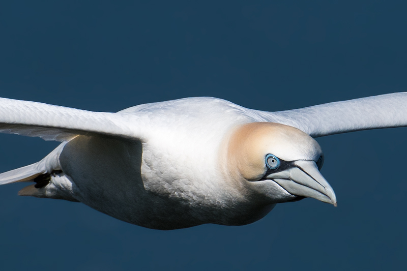 Gannet on the wing