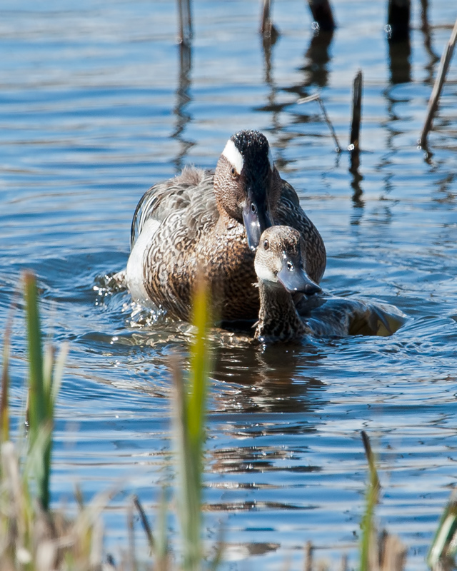 Garganey mating