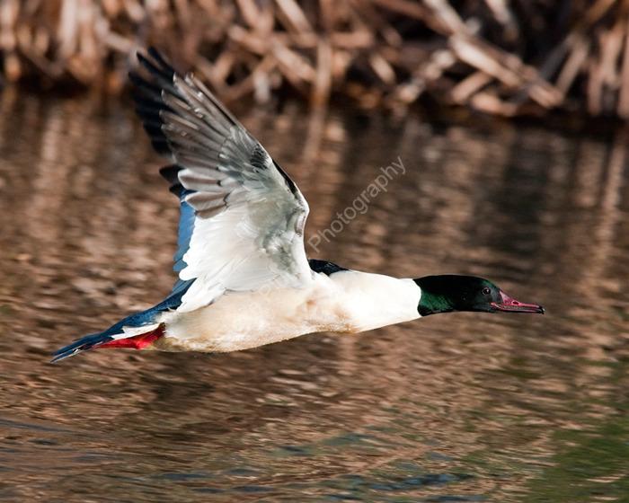 Goosander drake in flight