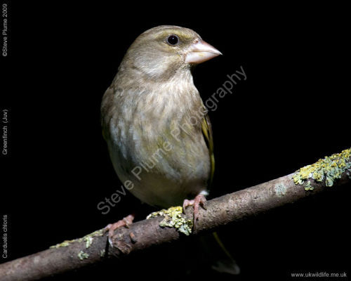 Juvenile Greenfinch