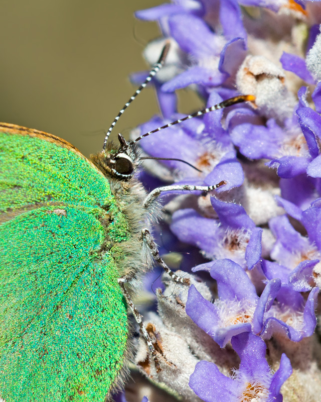 Up Close Green Hairstreak