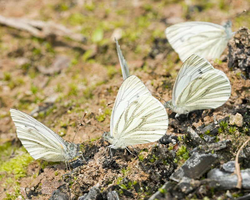 Green-veined White rave