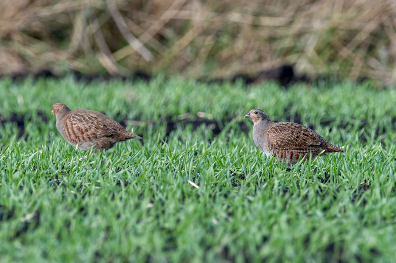 "A Pair of Grey ""English"" Partridge"