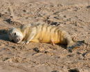 New born Grey Seal Pup
