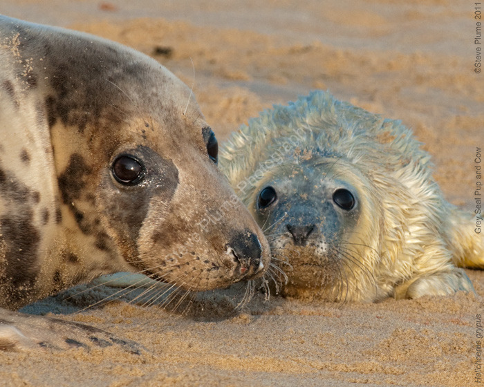 Grey Seal Cow and Pup