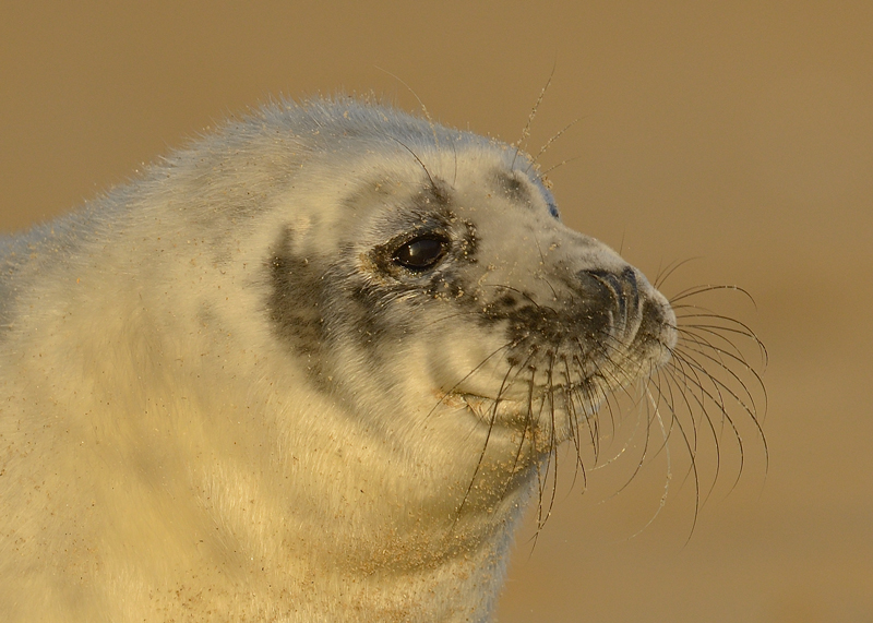 Grey Seal pup