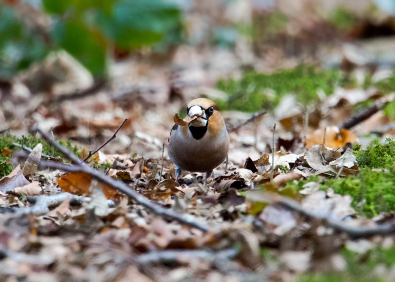 Hawfinch male