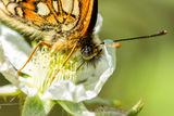 Close-up Heath Fritillary