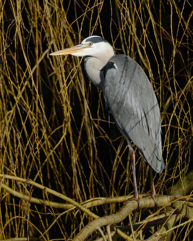 Perched Grey Heron
