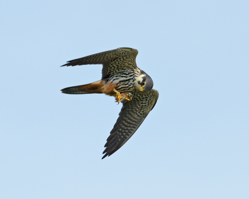 Hobby eating a dragonfly