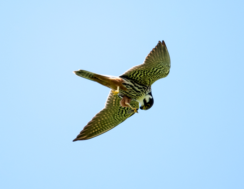 Hobby feeding on the wing