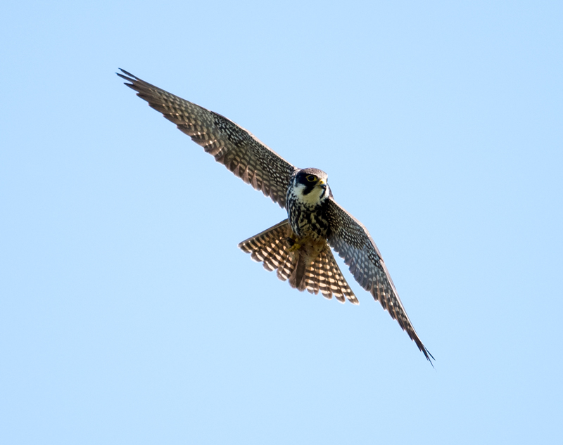 Hobby on the hunt